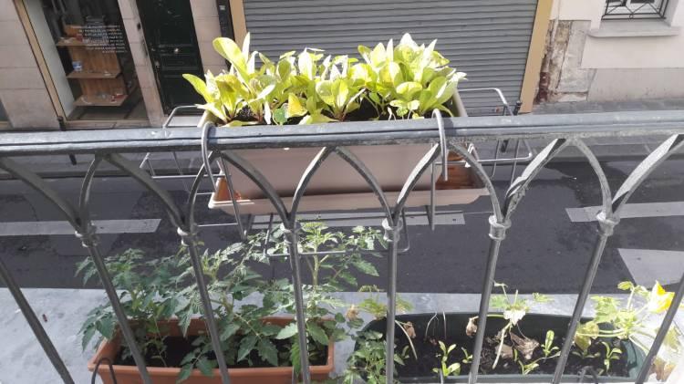 fenêtre de gauche : salades, tomates, courgettes